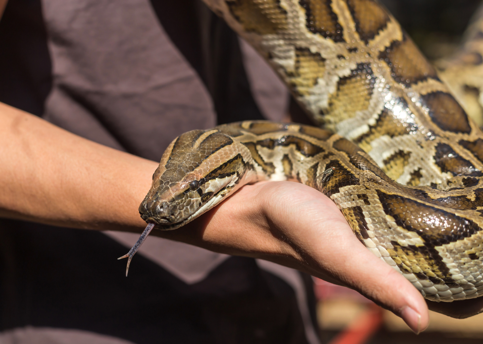Burmese python,python molurus, python bivittatus let out tongue from the mouth in hand.